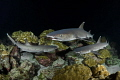 Mini Frenzy Whitetip reef sharks search for food at night in the corals around Cocos Island, Costa Rica