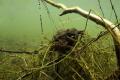 Mating toads, in fresh water in Belgium