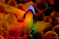 clown Fish in nice colour arrangement