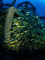 Spillage  Snapper - Lutjanus lutjanus  Sail Rock, Thailand-EM5-Panasonic 8mm-iso400-f8-1125-Inon D2000x2