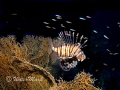 Lion Fish Fan Coral ,