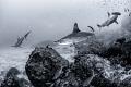 Three Amigos Three hammerhead sharks swim near the rocky corals surrounding Cocos Island, Costa Rica