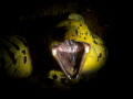 Fimbriated Moray shouting: