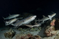 Let's Go This Way! A group of whitetip reef sharks during their nightly feeding at Cocos Island, Costa Rica.
