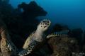 hawksbill turtle, Veracruz Mexico