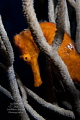 The seahorses of Roatan are stunning!  Bright orange seahorse hiding in a gorgonian.
