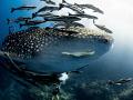 Entourage. Whale Shark - Rhincodon typus. Sail Rock, Thailand-EM5-Panasonic 8mm-iso200-f80-180