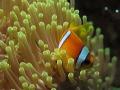 Anemonefish swimming