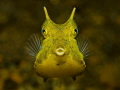 Golden Cowfish