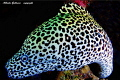 Portrait of leopard moray