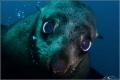 Australian Fur Seal , Martin Island , NSW.  Taken 5-10-2015