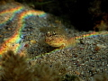 Goby under natural prisma light