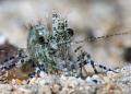 Saren shrimp — Subal underwater housing, Canon 5Dmk2, Canon EF100 macro, f25, 1/125, ISO320, Subsee +5 diopter, Inon Z240 strobe