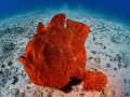 Get Off My Lawn  An adorable  but grumpy looking  frogfish at Cocos Island  Costa Rica.