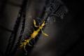 Y E L L O W Yellow skeleton shrimp  Caprella sp.  Tulamben  Bali   Indonesia. July 2015