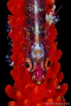 Red and Sparkling, Whip Coral Goby