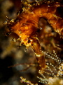 Golden Brown. Thorny Seahorse - Hippocampus histrix. Bali, Indonisia - EM5-Oly 60mm-1250-f11-iso200-Inon D2000x2