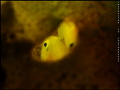 YELLOW GOBY~