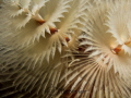 White christmas Tree worm from Bonaire taken in October. No diopter was used - this is with the Olympus m.zuiko 60mm macro lens only.