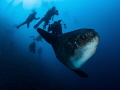 Crosstown Traffic. Southern Ocean Sunfish - Mola ramsayi. Mimpang, Bali, Indonisia - EM5-Panasonic 8mm-iso200-f5.6-1125-Inon D2000x2