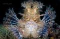 Rhinopias fondosa - Weedy scorpionfish