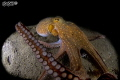 Ain't sharing!!! large octopus feasting (and not sharing) on a fish just caught