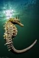 Hippocampus guttulatus #2