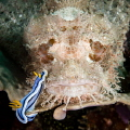 One of a series of 17 images shot as the nudibranch casually navigated the face of the scorpion fish.