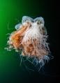Lion's mane jellyfish'. Inside passage, Alaska. — Subal underwater housing, Canon 5D mk2, Canon 8-15mm fish @ 15mm, f8, 1/125s, ISO400, 2x Inon Z240 strobes