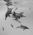 Fast shutter speeds are key for these fast Spinner Dolphins- here 1/640th second