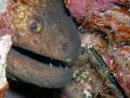 Giant moray eel guarded by Hinged beak shrimps.