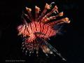 Lion Fish - Philippine