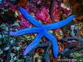 Sea Star -Philippines