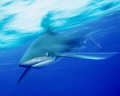 Slow shutter speed to show an Oceanic White tip shark in motion at Cat Island in the Bahamas