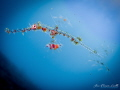 Baby Ghost Pipefish