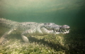 underwater encounter with american crocodile