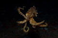 Blue-Ringed Octopus riding in the current. Dauin, Philippines. Olympus EPL-5 with 60mm lens, S&S YS-01 strobe.