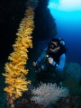 Diver and rope of soft corals