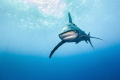 Oceanic Whitetips approaching