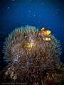 A family of Anemonefish
