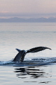 Sunset flukes. A splendid night of majestic whale flukes in the tranquil waters of the Alaskan Inside Passage.