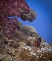 Soft Coral and Tomato clown fish in Fiji
