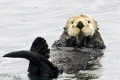 Friendly sea otter just chillin' in the chilly waters of the Gulf of Alaska.  Life is good when your belly is your dinner table.
