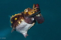 Flamboyant cuttle fish from different angle of view.