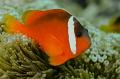 Tomato clown fish.