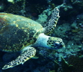 Friendly turtle at elphinstone reef