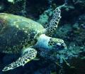Friendly turtle at elphinstone reef