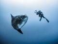 It s just not my turn yet ...   Southern Ocean Sunfish   Mola ramsayi. Gilli Mimpang  Bali  Indonisia   EM5 Panasonic 8mm iso200 f3.5 1/125