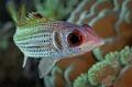Clearfin squirrelfish  Neoniphon sammar
