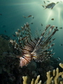 Lionfish at Sunset time